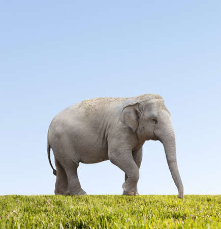 Aziatische olifant op blauwe hemel Stockfoto