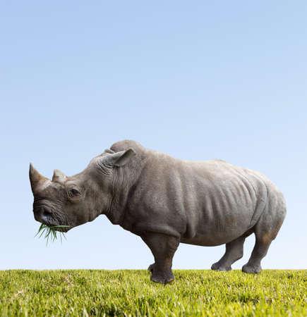 nashorn: Rhino isst grüne Gras auf Hintergrund des blauen Himmels Lizenzfreie Bilder