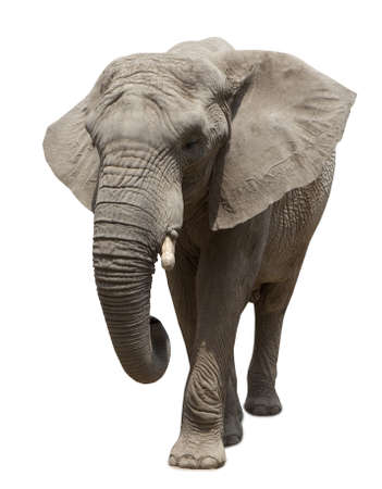 Afrikaanse olifant naderen op een witte achtergrond Stockfoto