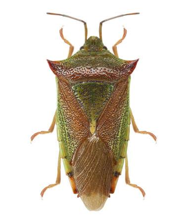 green shield bug: Green shield bug (Palomena prasina) isolated