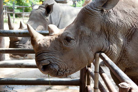 African black rhinoceros in a zoo Khao Kheow in Thailand  photo