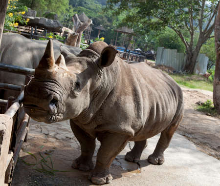 African black rhinocero in a zoo Khao Kheow in Thailand  photo