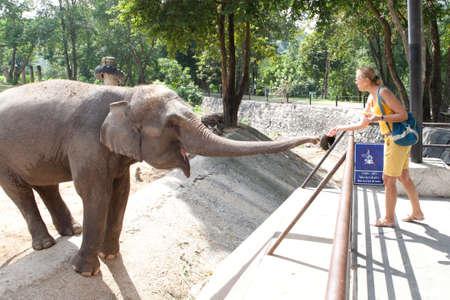 zoo youth: Woman feeding the elephant bananas at the zoo Stock Photo