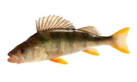 European perch (Perca fluviatilis). Isolated on white background Stock Photo