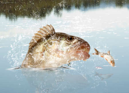 sheatfish: Big river perch (Perca fluviatilis). River predator