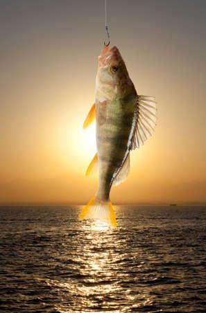 predatory: European perch (Perca fluviatilis). Against the background of the river