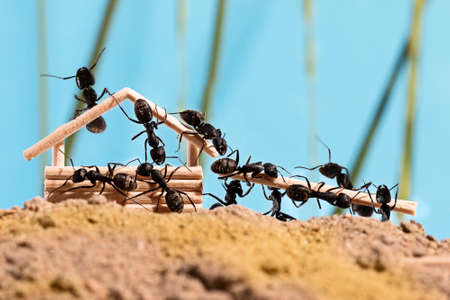 Black ants are building wooden house (Lasius niger)