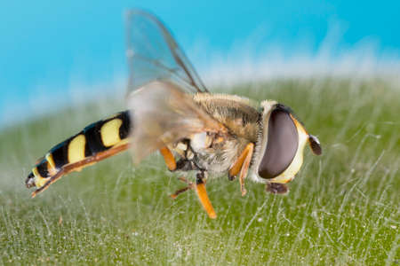 A small black yellow hoverfly (Helophilus pendulus, family Syrphidae)