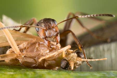 Red ant (Formica polyctena) kills the victim. Small ant assassin