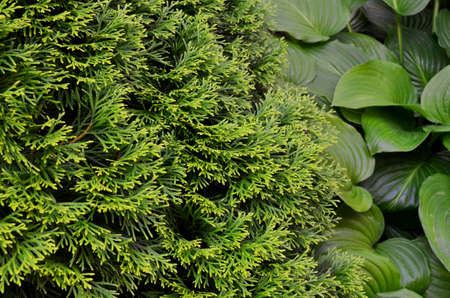 sprawling branches of thuja on a background of large-leaved green hosta Zdjęcie Seryjne