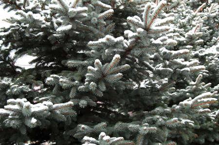Spruce Stock Photo - 2113708