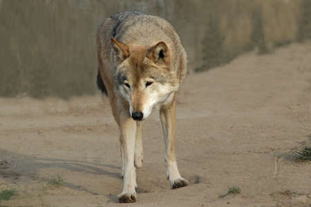 Wild wolf. In search of meal. photo