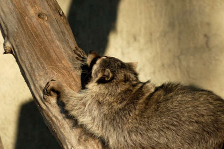Raccoon.Morning begins with gymnastics. photo