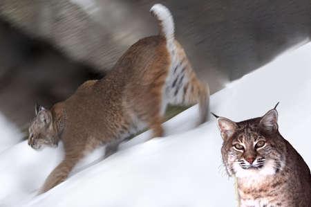 Close-up portrait of a bobcat. photo