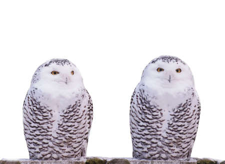 Two snow owls.Silent dialogue. photo