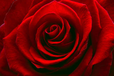 Red rose. photo