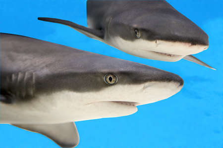 Two hungry sharks. photo