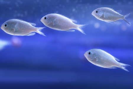 viridis: Sea small fishes (chromis viridis).