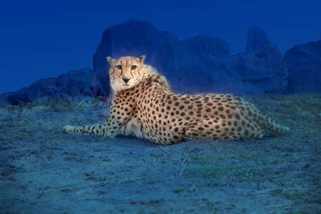 africat: Cheetah shined car headlights. Stock Photo