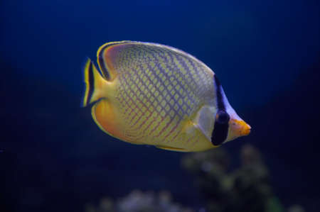 chelmon: The Latticed Butterflyfish, also known as Raffles Butterflyfish.