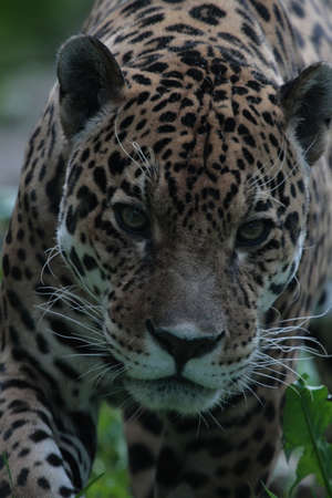 Jaguar in search of food. photo