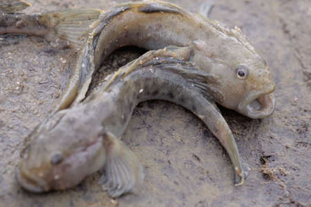 fished: The round goby.Take. Children have fished in the Black Sea. Stock Photo