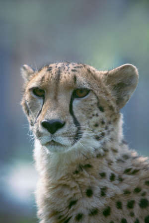 Сlose up a  cheetah.  Stock Photo - 3697944
