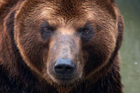 Brown Bear (Ursus arctos beringianus). photo