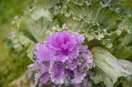 Colorful decorative cabbage with leaves in green and purple shades close-up