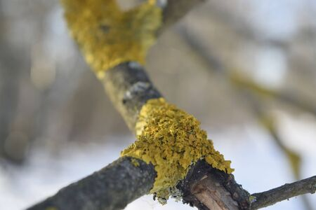 Lichen on a dry branch of a tree. Close up