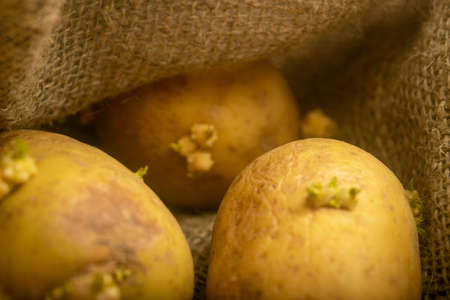 Sprouted potatoes on a background of coarse sacking. Autumn harvest. Seed potatoes for planting. Close up Standard-Bild - 151142304
