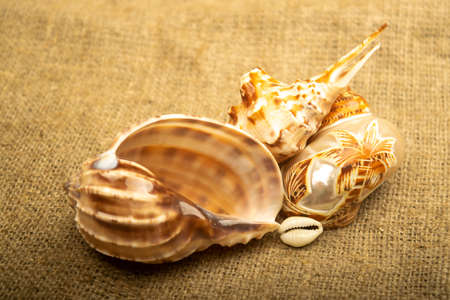 Beautiful sea shells on a wooden background. Carved sea shell. Close up