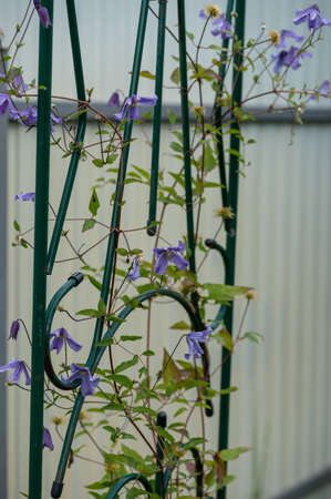 Young blue clematis growing on a support. Close up