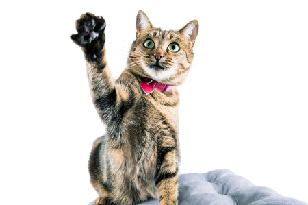 Funny Bengal cat in a pink collar waves his paw and looks into the camera. Mixed media Stock Photo