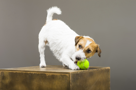 Purebred Jack Russell playing with a tennis ball. Mixed media Imagens - 119102731
