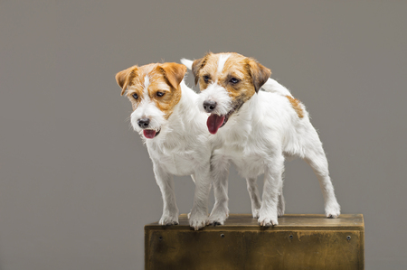 Two purebred jack russell posing in a studio. Mixed media Imagens - 119102749