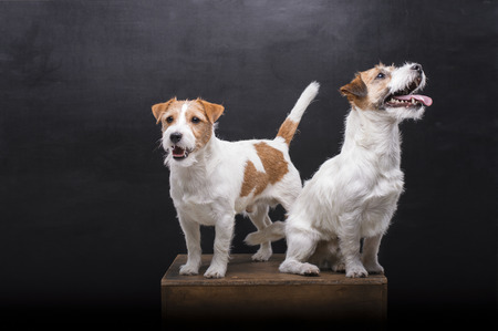 Two charming Jack Russell posing in a studio on a black background. Mixed media