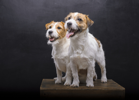 Two charming Jack Russell posing in a studio on a black background. Mixed media Imagens - 119102754