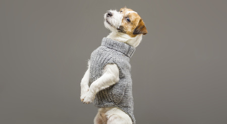 Charming Jack Russell posing in a studio in a warm gray sweater. Mixed media Imagens