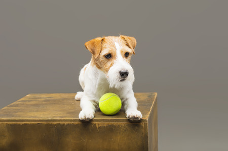 Purebred Jack Russell playing with a tennis ball. Mixed media