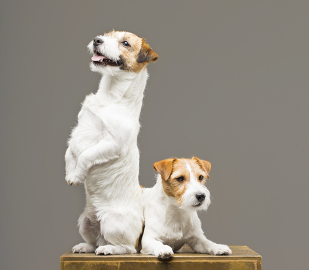 Two purebred jack russell posing in a studio. Mixed media