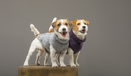 Two charming Jack Russell posing in the studio in warm sweaters. Mixed media Imagens