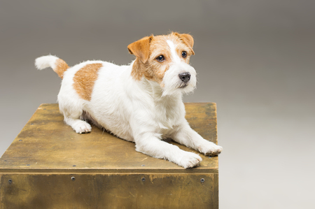 Purebred Jack Russell posing in the studio and looking at the camera. Mixed media Imagens - 119102795