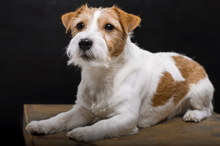 Purebred Jack Russell is lying on a pedestal in the studio and looking at the camera. Mixed media