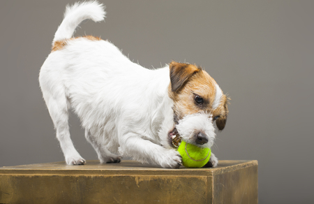 Purebred Jack Russell playing with a tennis ball. Mixed media Imagens - 119102803