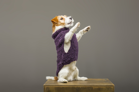 Charming Jack Russell posing in a studio in a warm lilac sweater. Mixed media