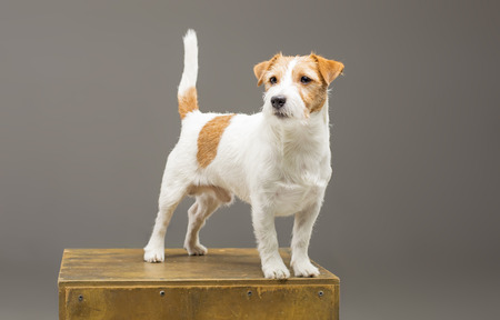 Purebred Jack Russell posing in the studio and looking at the camera. Mixed media Imagens - 119102817