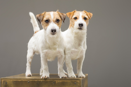 Two purebred Jack Russell pose in studio and look at camera. Mixed media