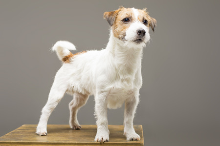Purebred Jack Russell is standing on the pedestal and looking at the camera. Mixed media