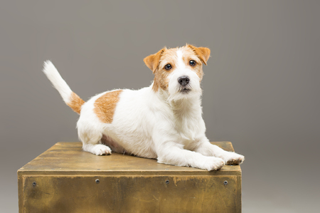 Purebred Jack Russell posing in the studio and looking at the camera. Mixed media